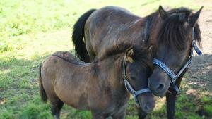 Konie z Sułkowic fot. R. Pazdur